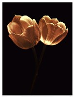 Illuminated Tulips II Fine-Art Print