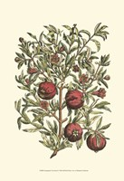 Pomegranate Tree Branch Fine-Art Print