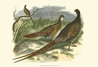 Semmering Pheasant Fine-Art Print