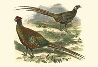 Bohemian Pheasant Fine-Art Print