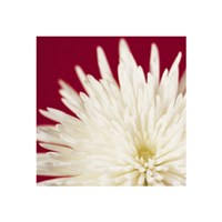 Chrysanthemum, White on Dark Red Fine-Art Print