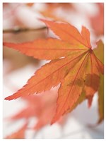 Red Leafs Fine-Art Print