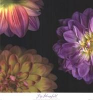 Purple Dahlia I Fine-Art Print