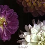 Purple Dahlia II Fine-Art Print
