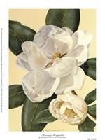 Morning Magnolia Fine-Art Print