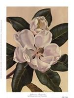 Afternoon Magnolia Fine-Art Print