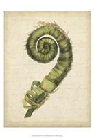 Small Fiddlehead Ferns II (U) Fine-Art Print