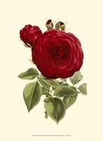 Magnificent Rose I Fine-Art Print