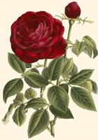 Magnificent Rose IV Fine-Art Print