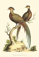 Small Regal Pheasants II (P) Fine-Art Print