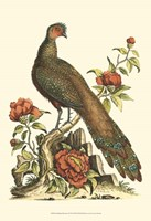 Small Regal Pheasants III (P) Fine-Art Print