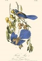 Audubon Florida Jays Fine-Art Print