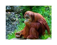 Orangutan - Giving it some thought Fine-Art Print