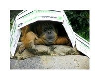 Orangutan - Give me shelter Fine-Art Print