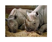 Two Rhinos Fine-Art Print