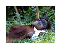 Orangutan - Just about to take a nap Fine-Art Print