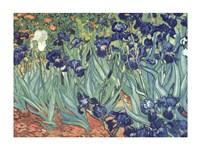 Irises in the Garden Fine-Art Print