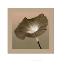 Morning Glory II Fine-Art Print