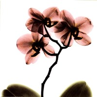 Crystal Flowers X-Ray, Orchid Fine-Art Print