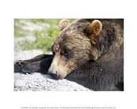 Grizzly Bear Lying with His Head Down Fine-Art Print