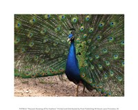 Peacock Showing off Its Feathers Fine-Art Print