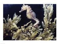 Sea Horse photo Fine-Art Print