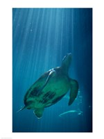 Green Sea Turtle - underwater Fine-Art Print