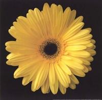 Gerbera Daisy Yellow Fine-Art Print