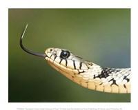 European Grass Snake Closeup of Face Fine-Art Print