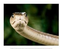 The Black Mamba Snake Fine-Art Print