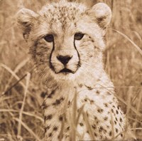 Young Cheetah Fine-Art Print
