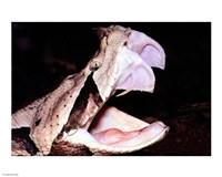 Gabon Viper Fangs Fine-Art Print