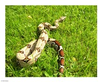 Red Tail Boa Constrictor Fine-Art Print