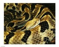 Timber Rattlesnake Fine-Art Print