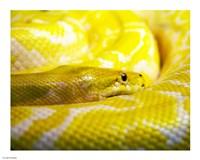 Yellow Python Fine-Art Print
