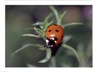 Close-up of a ladybug on leaves Fine-Art Print