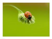 Close-up of a ladybug on a flower Fine-Art Print