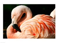 Close-up of a Sleeping Flamingo Fine-Art Print