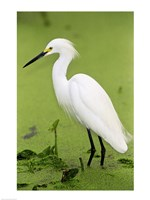 Close-up of a Snowy Egret Wading in Water Fine-Art Print