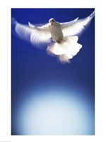 White Dove in flight - blue Fine-Art Print