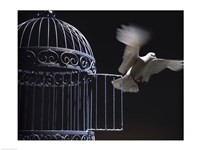 White Dove escaping from a birdcage Fine-Art Print