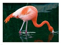 Pink Flamingo In River Fine-Art Print