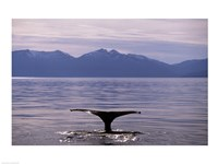 Humpback Whale in Alaska, USA Fine-Art Print