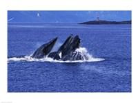 Humpback Whales in Alaska, USA Fine-Art Print