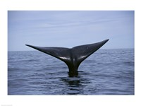 Southern Right Whale Argentina Fine-Art Print