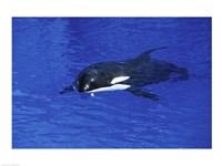 Killer Whale Fine-Art Print