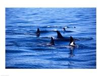Pod of Killer Whales swimming in the Sea Fine-Art Print