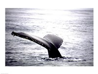 Humpback Whale Black and White Tail Fine-Art Print
