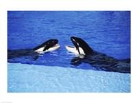 Killer Whales Sea World San Diego California USA Fine-Art Print