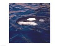 Killer Whale Swimming Fine-Art Print